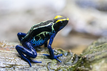 Close Up. Poison Frog, Dendrob...