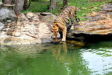 Bengal Tiger Drinking Water In...