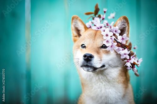 Photo chien shiba inu avec une couronne de fleurs sur la tete