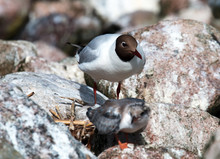 Black-headed Gulls And Its Chick In A Nesting Colony