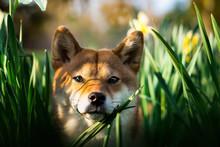 Chien Shiba Inu Souriant Dans Les Fleurs Au Coucher  De Soleil