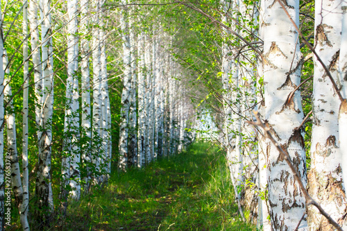 Birchwood, footpath covered with green grass in a birch forest Canvas Print