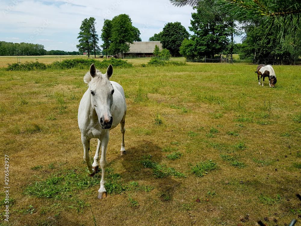 Fototapeta koń na pastwisku