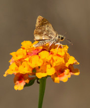 Mallow Skipper (Carcharodus Alceae) Isolated On An Orange Lantana Camara Flower In  A Bright Sunlight, With Natural Brown Earth Tones In Soft Focus At The Background.
