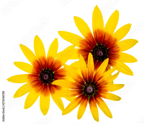 Group of Three Black Eyed Susan Rudbeckia flower isolated on white background Fototapet