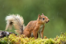 Red Squirrel In The Rain On Wi...