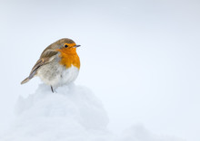 Robin Perched On Snow With A White Snow Background Taken In The Cauirngorms National Park, Scotland.