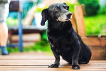 Portrait Of An Old Dachshund Dog
