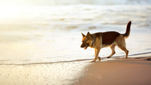 German Shepherd On The Beach. Sunny Summer Day. Vacation And Travel With Home Pet.