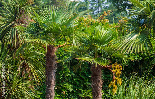 Evergreen palm branches in the subtropics