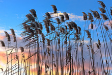 Silhouettes Of Cattail (reedmace) At Beautiful Purple-blue Golden Sky At Sunset