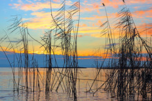 Silhouettes Of Cattail (reedma...
