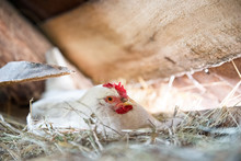 White Chicken Hatches Eggs Under The Roof Of The Barn On Straw.
