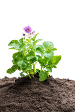 Potato Plant With Flowers In Soil Isolated On White