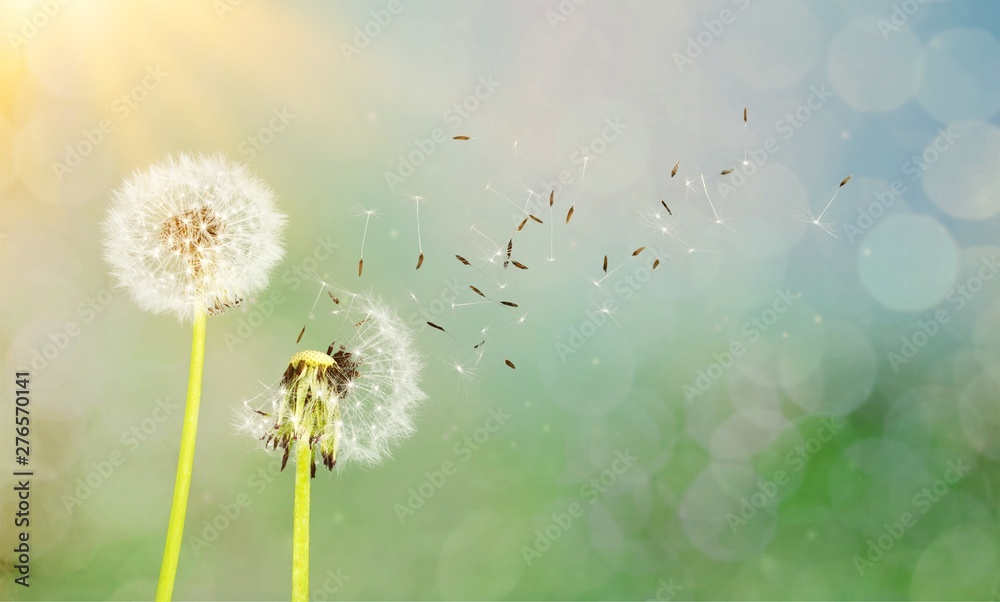 Fototapety, obrazy: Dandelion with blowing seeds, on  background