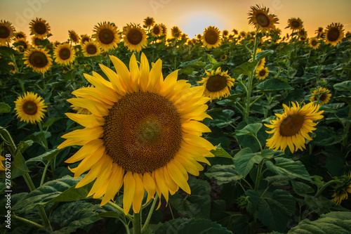 Cadres-photo bureau Tournesol Sunflowers blossoming in the fields