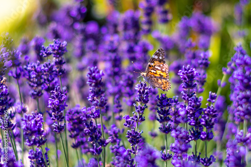 Montage in der Fensternische Schmetterling Orange butterfly (Vanessa Cardui) and bee on the lavender flower. Purple aromathic blossom with insect animals. Summer weather, vibrant colors. Ecology garden concept