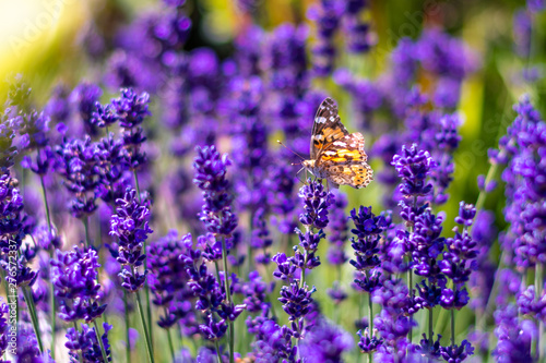 Foto auf AluDibond Schmetterling Orange butterfly (Vanessa Cardui) and bee on the lavender flower. Purple aromathic blossom with insect animals. Summer weather, vibrant colors. Ecology garden concept