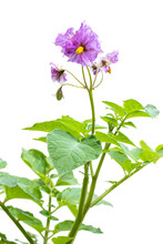 Potato Plant With Flowers Isolated On White