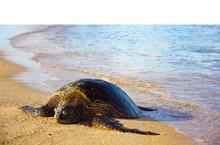Sea Turtle Sleeping On The Beach