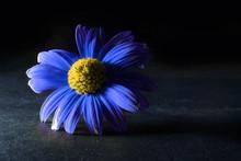 Beautiful Blue Flower On Black Background. Flower Backlit. Macro Flower Night
