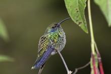Lesser Violetear, Colibri Cyan...