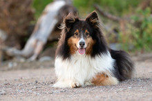 Cute Shetland Sheepdog Happy Outside