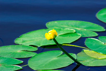 Summer River With Water Lily And Green Leaves.