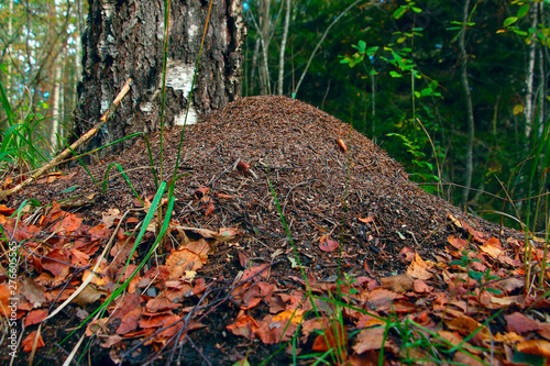 an anthill by a tree in the forest sprinkled with leaves Canvas Print