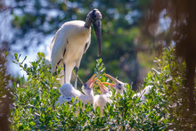 Mama Wood Stork Feeding Her Th...