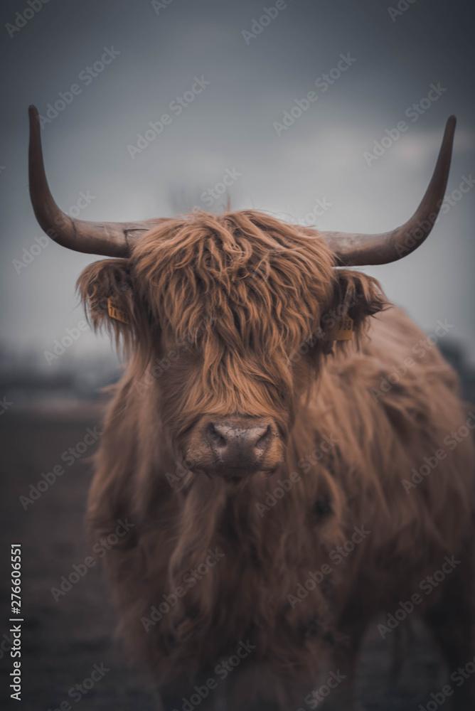 Obraz Highland Cattle fototapeta, plakat