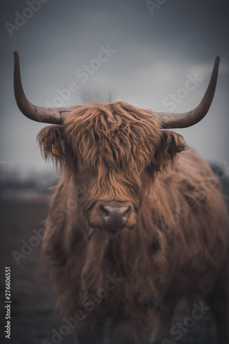 Fototapeta Highland Cattle obraz