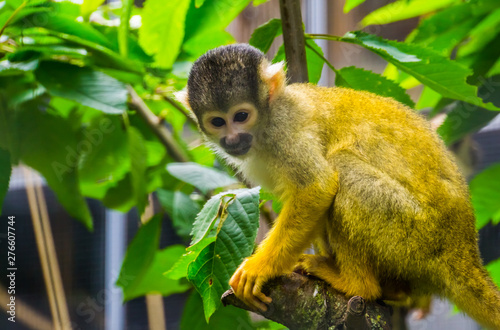 Foto op Aluminium Aap closeup of a common squirrel monkey sitting in a tree, cute small primate specie from America