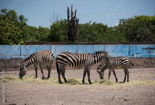 Fototapety, obrazy: Three zebras standing sideways eating grass in a zoo