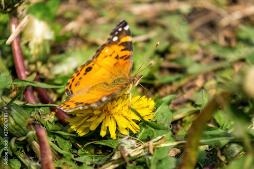 Closeup of a beautiful butterfly with orange & black wings, sitting on a yellow blooming dandelion among lush green grass, on a sunny day