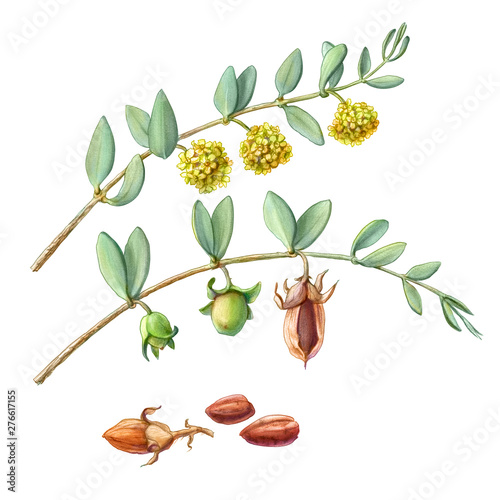 Valokuvatapetti Jojoba Branches, Flowers and Nuts Pencil Illustration Isolated on White