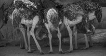 Multiple Common Ostriches Seen From Behind, Black And White