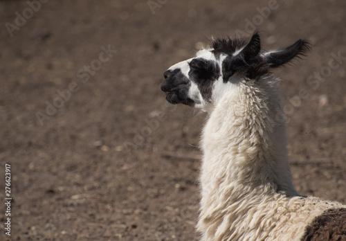 Poster Parrot close up of a llama