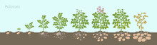 Crop Stages Of Potatoes Plant. Growing Spud Plants. The Life Cycle. Harvest Potato Growth Progression In The Soil.