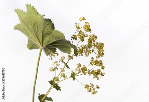 Obraz na płótnie Lady's Mantle - Alchemilla mollis - Medicinal Plant