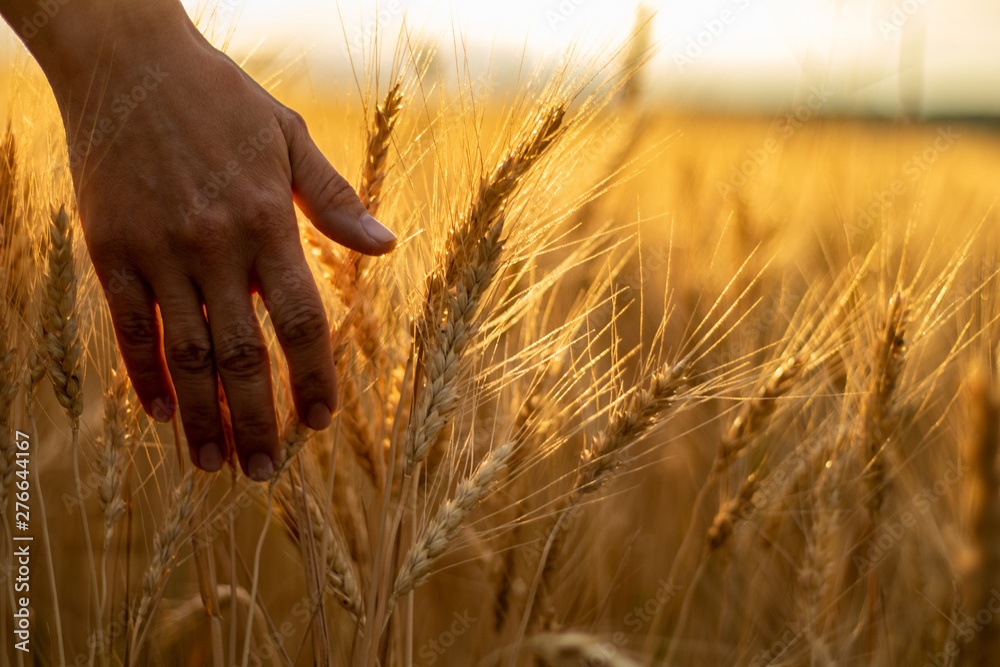 Fototapeta Wheat field.Female hand stroking touches of ripe ears of wheat.Rich harvest Concept. Beautiful Nature Sunset Landscape.Sunny day in the countryside.