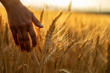 Wheat Field.Female Hand Stroking Touches Of Ripe Ears Of Wheat.Rich Harvest Concept. Beautiful Nature Sunset Landscape.Sunny Day In The Countryside.