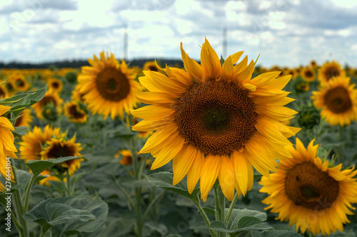Foto auf Gartenposter Landschappen Field of sunflowers on a sunny summer day.
