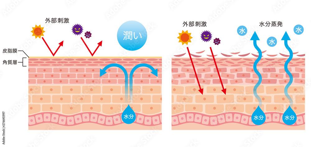 Fototapety, obrazy: 肌のバリア機能 皮膚構造