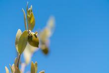 Jojoba Bean Plant With Plain Blue Sky