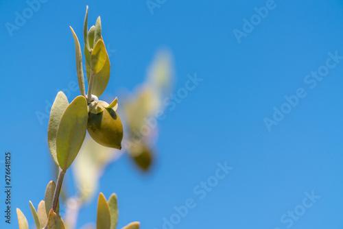 Fotografie, Tablou Jojoba bean plant with plain blue sky