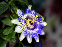 Blue Passionflower - Passiflor...