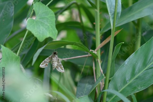 Photo Daphnis Nerii, Acherontia Atropos (butterfly) hang on some leaf in garden