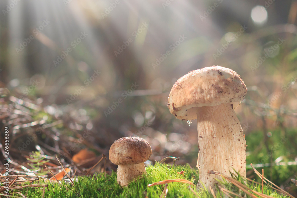 Fototapety, obrazy: Family Boletus in the forest. edible mushrooms with excellent taste