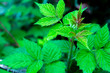 canvas print picture - Green freshness raspberry leaves in spring season